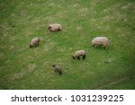 sheep on the meadow in front of ... | Shutterstock . vector #1031239225