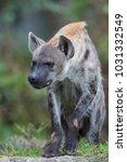 closeup spotted hyena | Shutterstock . vector #1031332549