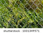 Small photo of Avena fatua a common wild oats growing in spring and summer against a wire metal fence is a pasture weed, the seeds when ripe eaten by the larvae of some Lepidoptera species .