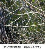 dainty chirpy  little ... | Shutterstock . vector #1031357959