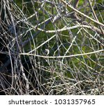 dainty chirpy  little ... | Shutterstock . vector #1031357965