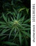Small photo of Marijuana - Strain: Agent Orange