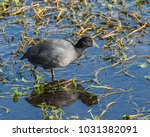 An American Coot Reflects In...