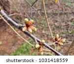 buds of cherry blossoms... | Shutterstock . vector #1031418559