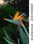 hawaiian flowers on kauai ...   Shutterstock . vector #1031426065