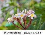 red yallow plumeria flowers   Shutterstock . vector #1031447155