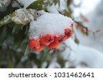 Pyracantha Firethorn Berry...