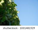 fresh spring green grass wall... | Shutterstock . vector #1031481529