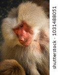 two hamadryas baboon  papio... | Shutterstock . vector #1031488051