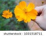 yellow flowers in outdoor... | Shutterstock . vector #1031518711