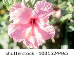 "pink ""chinese hibiscus"" flower   Shutterstock . vector #1031524465"