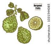 bergamot fruit and leaves. hand ... | Shutterstock .eps vector #1031544085