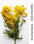 yellow mimosa on a white... | Shutterstock . vector #1031563081