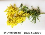 yellow mimosa on a white... | Shutterstock . vector #1031563099