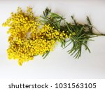 yellow mimosa on a white... | Shutterstock . vector #1031563105