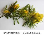 yellow mimosa on a white... | Shutterstock . vector #1031563111
