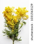 yellow mimosa on a white... | Shutterstock . vector #1031563129