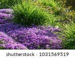 Flowers Phlox Subulata Bloom I...