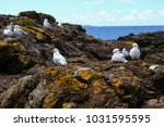 colony of seagulls on rocks... | Shutterstock . vector #1031595595
