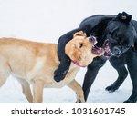 two labrador retriever puppies... | Shutterstock . vector #1031601745