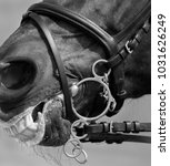 Small photo of Pelham bridle with flash noseband on head of sport horse. Close up black and white photo.