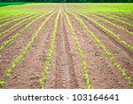 Lines of small corn plants on an agricultural field - stock photo