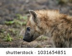 portrait of a spotted hyena. | Shutterstock . vector #1031654851