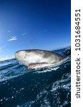 Small photo of Split Shot of Lemon Shark on Ocean Surface in Bahamas