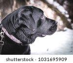 portrait of black labrador... | Shutterstock . vector #1031695909