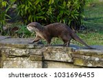 a small clawed otter on the... | Shutterstock . vector #1031696455