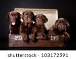 Small photo of four cute chocolate puppies of Labrador Retriever amicably sitting in brown vintage leather suitcase on black background