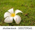 plumeria white flower   Shutterstock . vector #1031729161