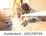 gorgeous dog  an english setter ... | Shutterstock . vector #1031740735
