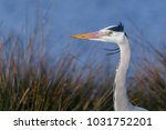 portrait of a grey heron  ardea ... | Shutterstock . vector #1031752201