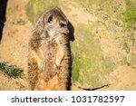 alert meerkat   suricata...   Shutterstock . vector #1031782597