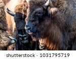 close up of wisent in the... | Shutterstock . vector #1031795719