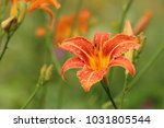 Hemerocallis Fulva  The Orange...