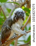 Small photo of The cotton-top tamarin is a small New World monkey weighing less than 0.5 kg. The cotton-top tamarin is easily recognized by the long, white sagittal crest extending from its forehead to its shoulders
