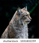 portrait of a lynx. latin name  ...   Shutterstock . vector #1031832259