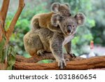 Stock photo mother koala with baby on her back on eucalyptus tree 1031860654