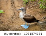 side portrait of a blue footed... | Shutterstock . vector #1031874391