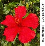 red hibiscus flower   Shutterstock . vector #1031876605