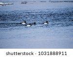 goldeneye duck bird | Shutterstock . vector #1031888911