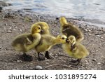 Small photo of Yellow callow duck babies playing on a beach with each other