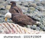 bald eagles on beach  mature...   Shutterstock . vector #1031915809