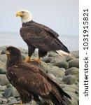 bald eagles mature and juvenile ...   Shutterstock . vector #1031915821