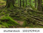 roots covered with moss in the... | Shutterstock . vector #1031929414
