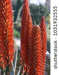 Small photo of Close up outdoor view of red orange hybrid aloe flowers, aloaceae family. Group of natural vertical element with many petals lighted by the sun. Macro detail of Aloe flowers and blurry background.