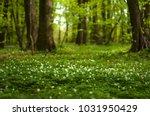 anemone nemorosa flower in the... | Shutterstock . vector #1031950429