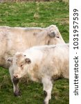 Small photo of Two Charolais white cows standing still
